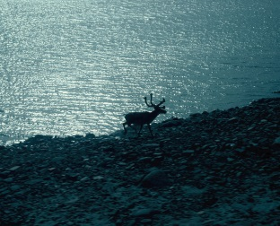 A caribou making landfall after crossing the Inglis River in the Arctic Circle.