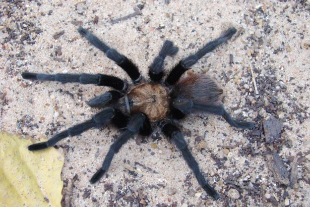 Oklahoma Brown Tarantula