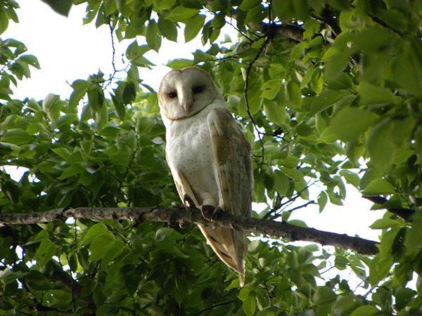 Photo:  We don't normally see these owls in trees, but our presence awoke this Barn Owl from its daytime sleep at the USDOE/NNSA Pantex Plant.