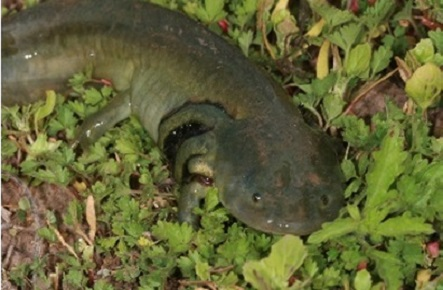An adult of the neotenic form of the barred tiger salamander. Photo courtesy Richard T. Kazmaier