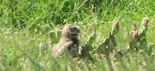 Western burrowing owls