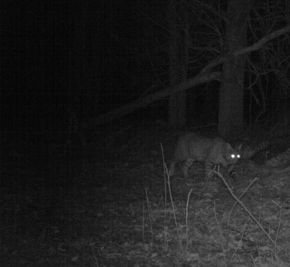 A bobcat prowling during the nighttime hours on the U. S. Department of Energy/National Nuclear Security Administration Pantex Plant.