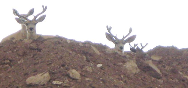 Mule deer in velvet at the Pantex Plant
